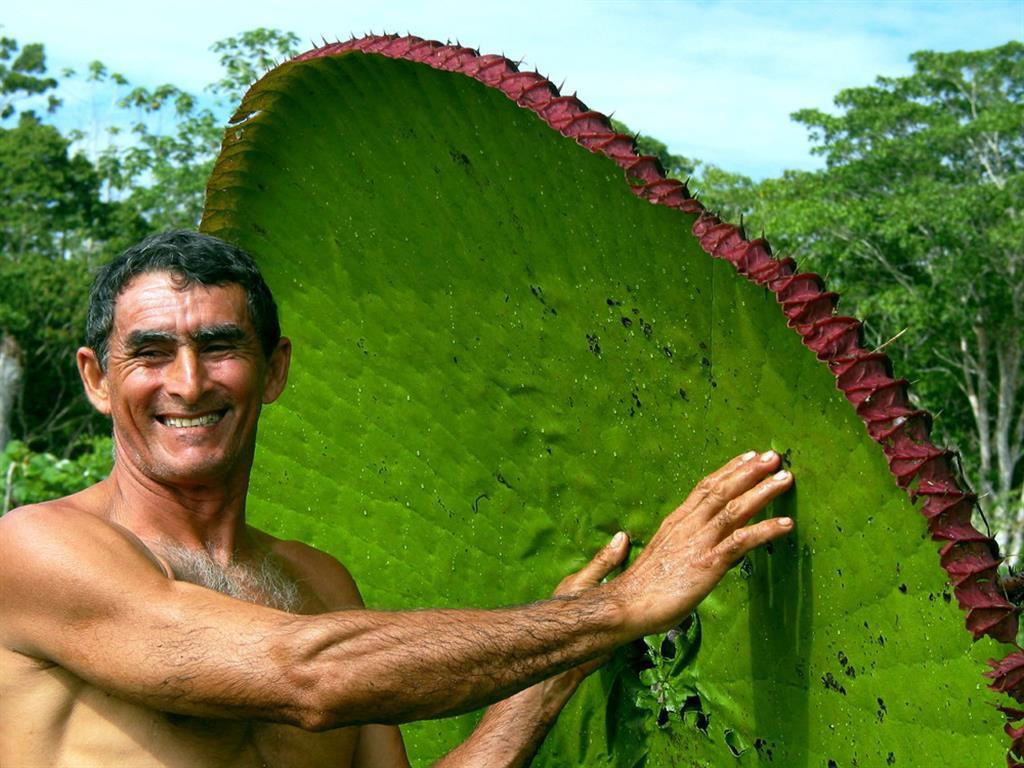 Кувшинка Виктория регия является самой большой кувшинкой в мире. интересное, природа, растения, цветы