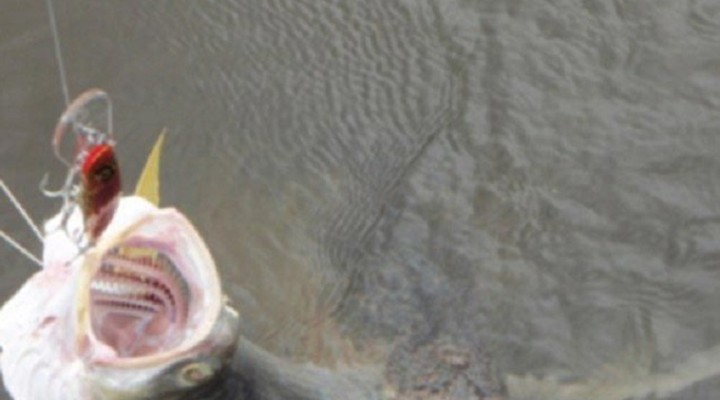 Рыболов решил, что поймал лосося