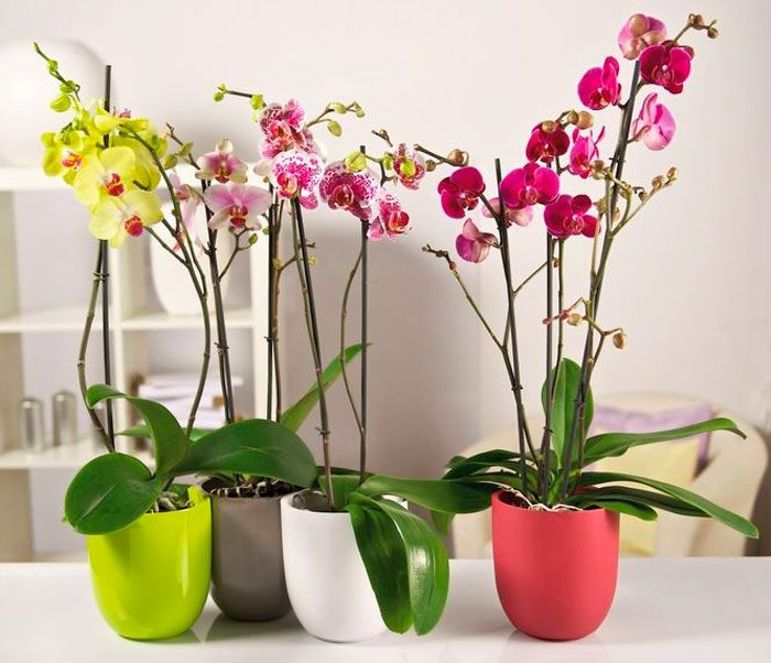 МИР РАСТЕНИЙ. Как ухаживать за домашней орхидеей