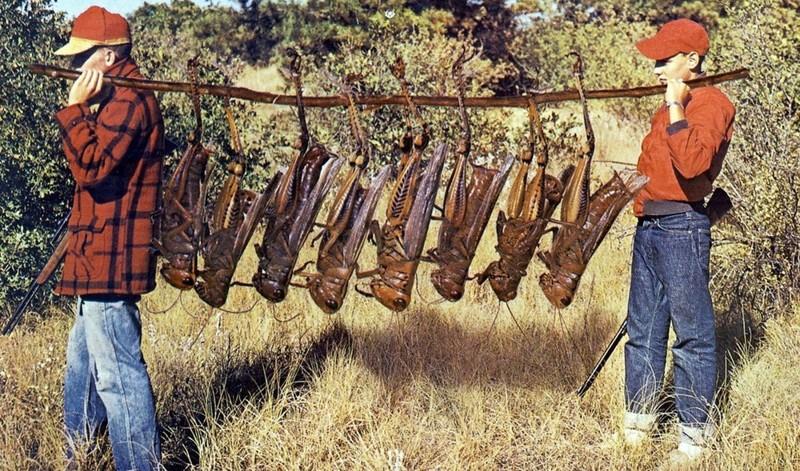 11. Гигантские кузнечики вид, вымысел, гигант, животные, мир, правда, природа, фото