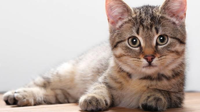 Кошки — домашние или дикие животные?