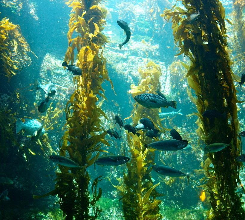 Обнаружена уникальная экосистема в океане, которой не страшны изменения климата планеты, водорослей, которые, берегов, Огненной, Земли, бурых, экосистемы, много, морских, растения, этого, других, испытывают, Здесь, время, водах, подводный, высокое, отмечено