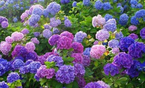 САД, ЦВЕТНИК И ОГОРОД. Как ухаживать за садовой гортензией