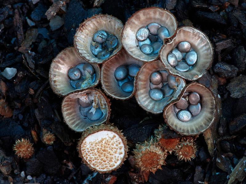 13. Cyathus striatus Бокальчик полосатый. грибы, интересное, фото