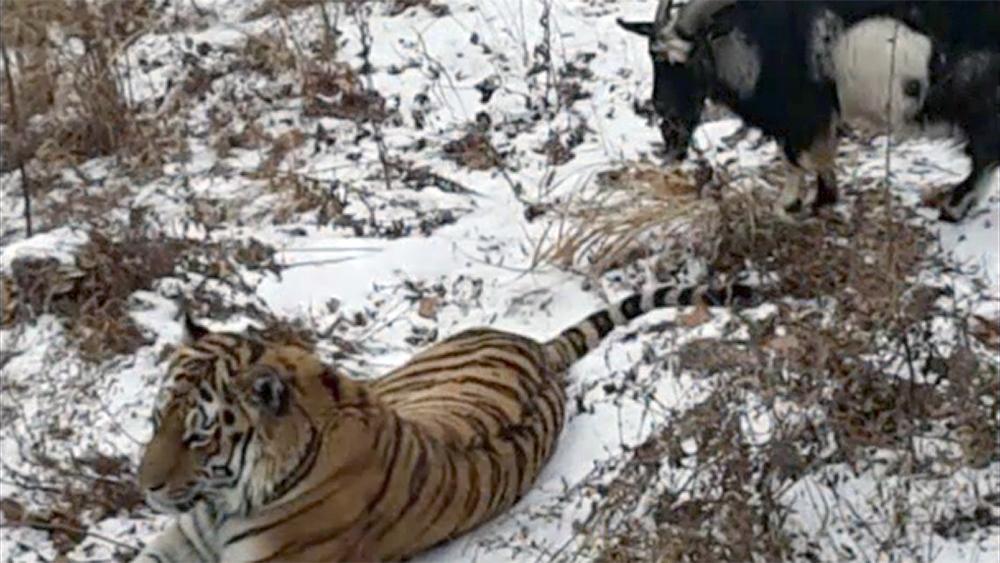 Козел Тимур и тигр Амур вышли в соцсети