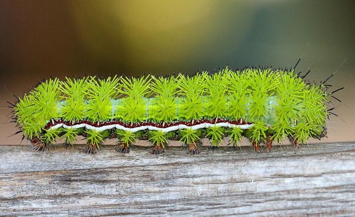 Гусеница обитает в Канаде и США, и, хотя выглядит как обворожительная крошка с зелеными помпонами-шипами.