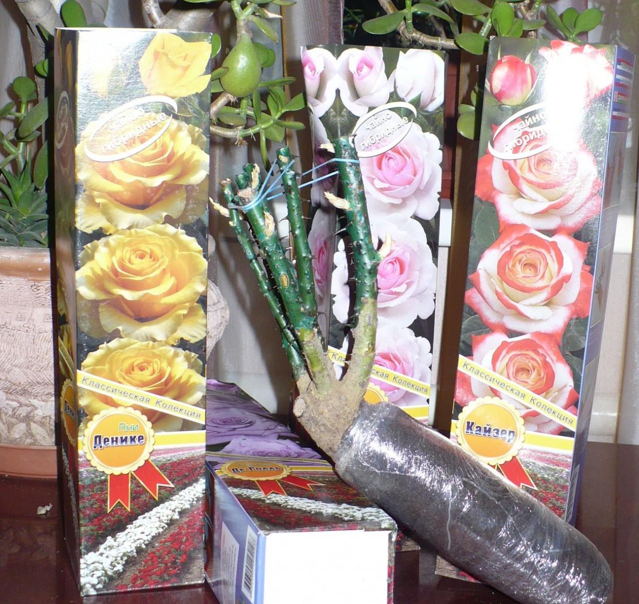 Помогите сохранить саженцы роз до высадки.
