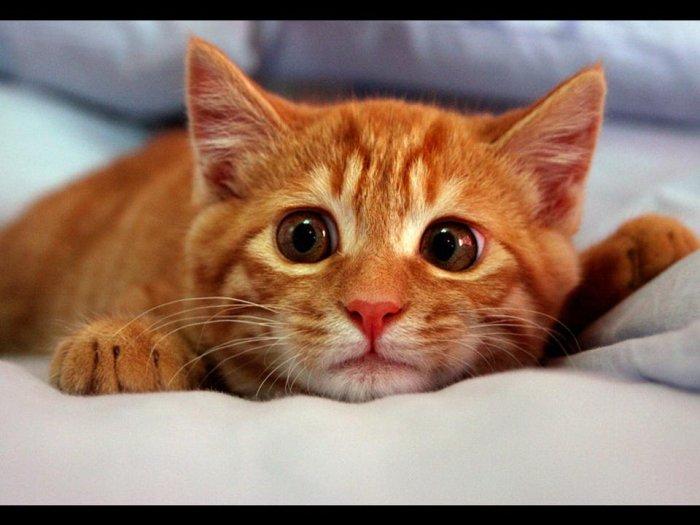 Рыжий кот в доме: приметы, связанные с рыжими котами