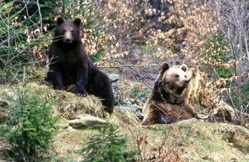 Популяция медведей растет в Иркутской области