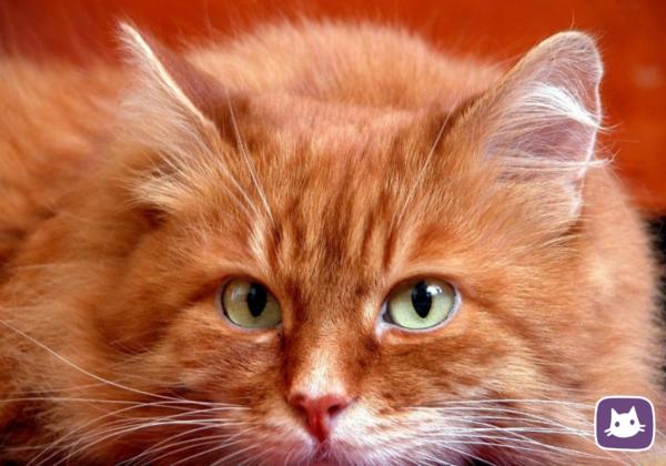 Почему полезно иметь дома рыжего кота