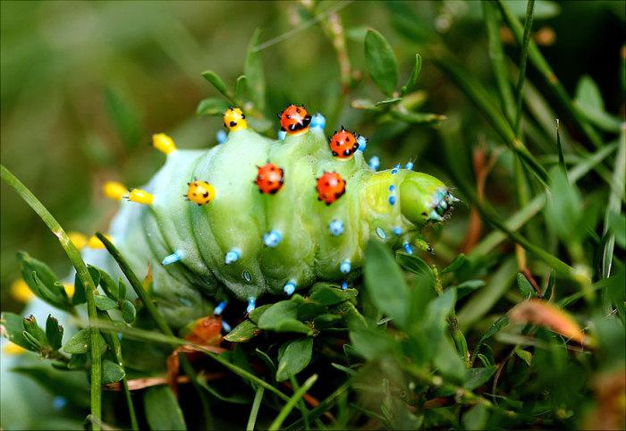 Личинка покрыта клубеньками и бугорками.