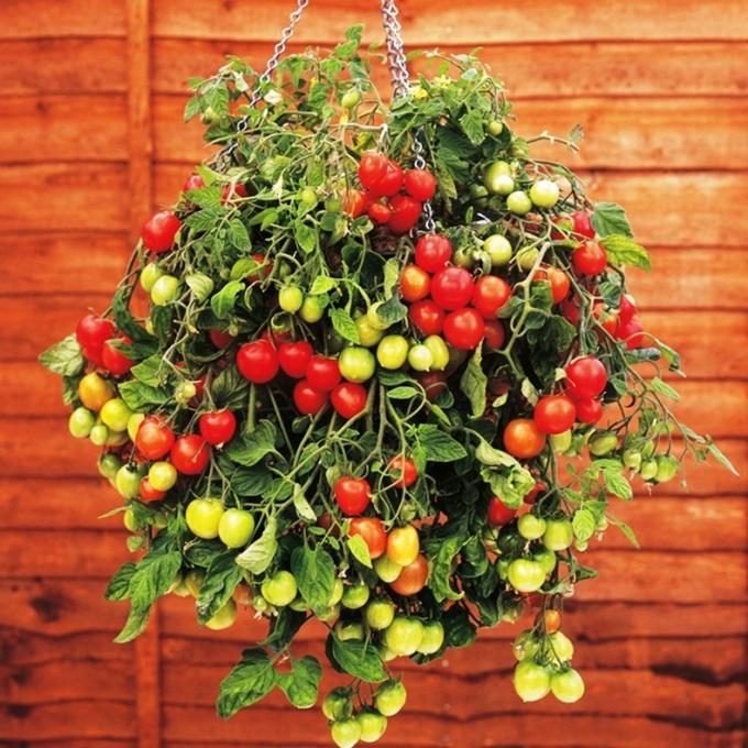 Хит сезона - ампельные помидоры