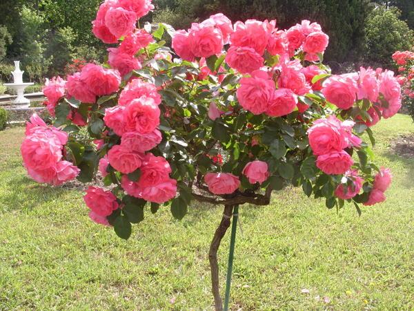 Штамбовые розы – мечта цветовода