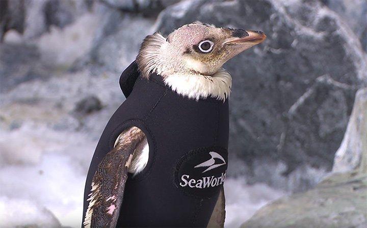 Облысевший пингвин и гидрокостюм добро, животные, спасение