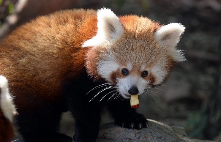 Посетители Московского зоопарка смогут увидеть красную панду