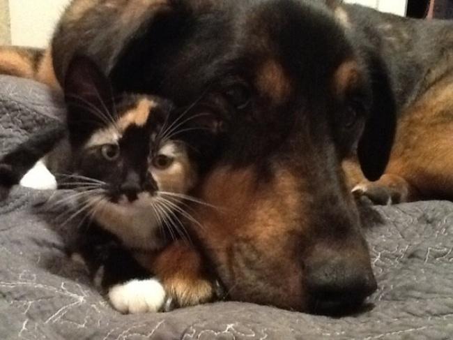 Неразлучники — когда старый пес умер, кошечка была безутешна...