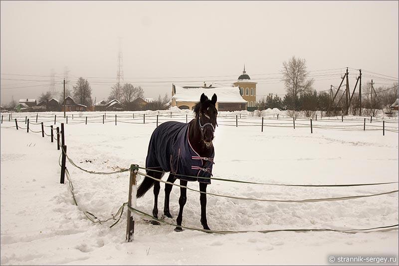 Породистые лошади в зимний день