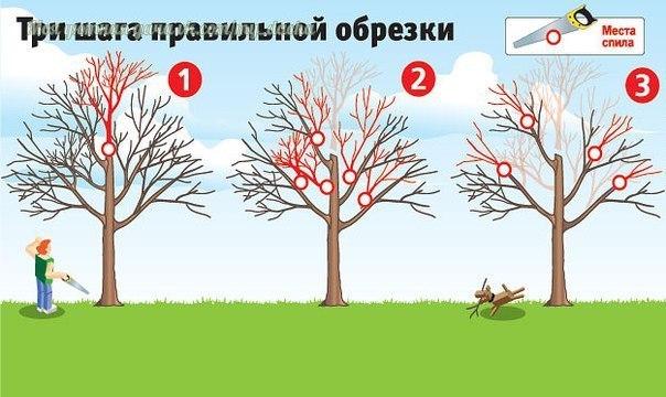Как вернуть деревьям былую силу. Три шага правильной обрезки