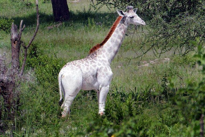 Омо — необычный жираф с редк…