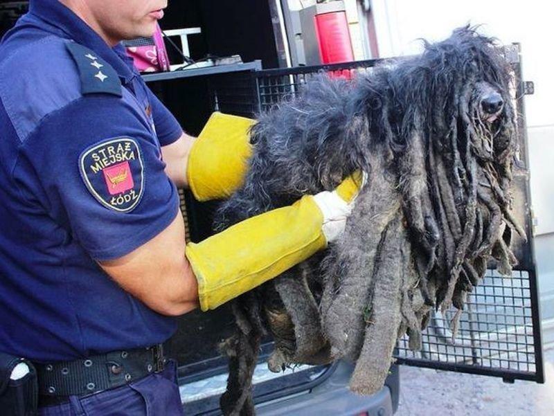 Этот комок шерсти был спасён зоозащитниками в польском городе Лодзь Польша, животные, зоозащитники, люди, собака, спасение, хозяин