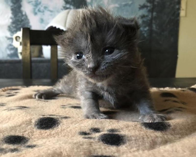 Котенок с милым хохолком на голове не хотел пить молоко, но очень хотел жить