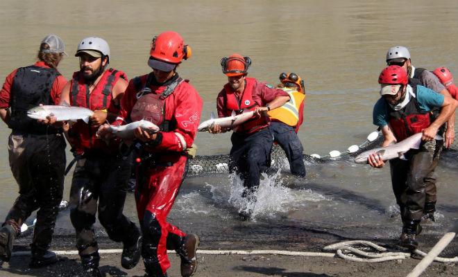 Огромная скала перегородила рыбе путь на нерест: люди пришли на помощь Канада,лосось,люди,нерест,Природа,Пространство,рыба