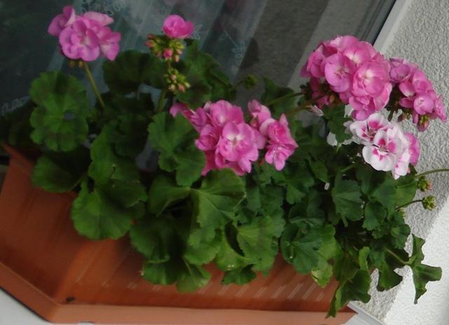 Пеларгония очень любима цветоводами за свою неприхотливость и обильное цветение с весны до осени...