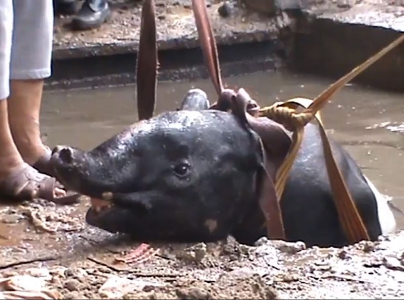 Неудачный побег из зоопарка: тапир заблудился и упал в воду