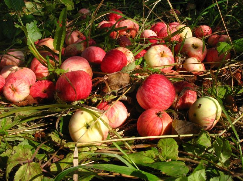 Падалица яблок как удобрение