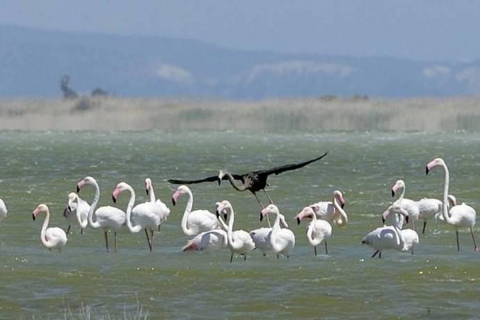 На одном из озер Кипра засняли черного фламинго
