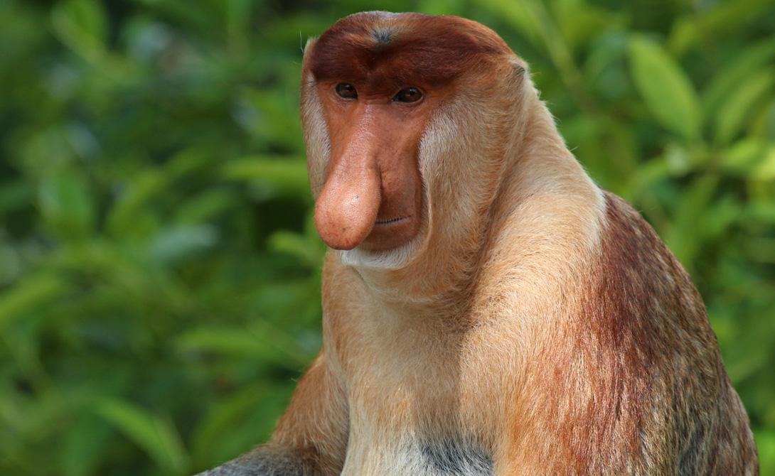 Обезьяна-носач Этот длинноносые обезьяны живут на острове Борнео, в Юго-Восточной Азии. Они рождаются с синим лицом и маленьким носом. Изменения цвета лица и носа в течение жизни становятся все больше и больше, превращая животных в настоящих уродцев.