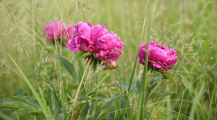 Как ухаживать за пионами во время и после цветения дача,сад и огород,цветоводство
