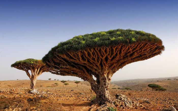 Драконовое дерево, Йемен