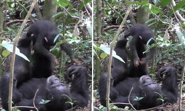 """Мамы-шимпанзе играют со своими малышами в """"самолетик"""" в точности как люди"""