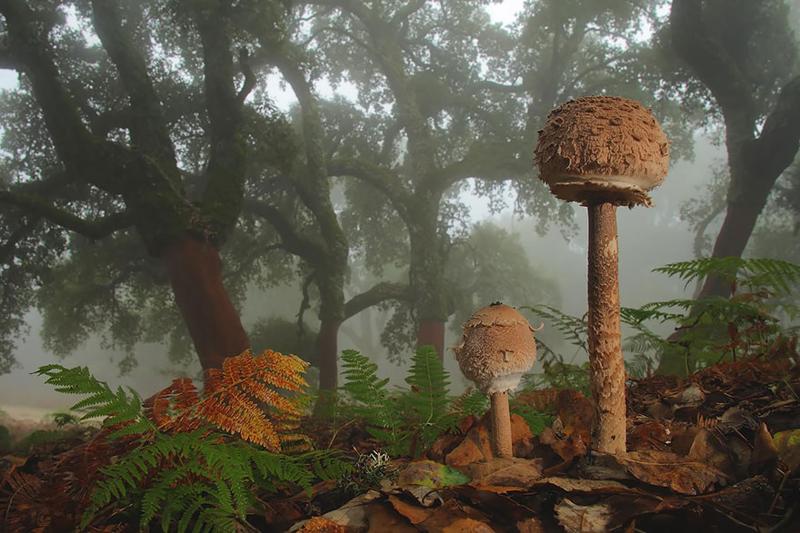 9. Lepiota Лепиота шероховатая. грибы, интересное, фото