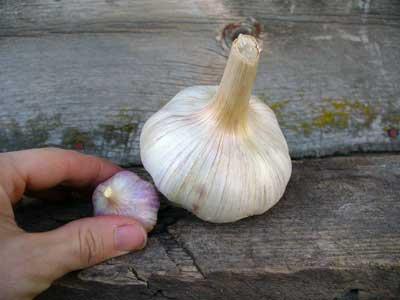 Я выращиваю чеснок-великан из некондиции