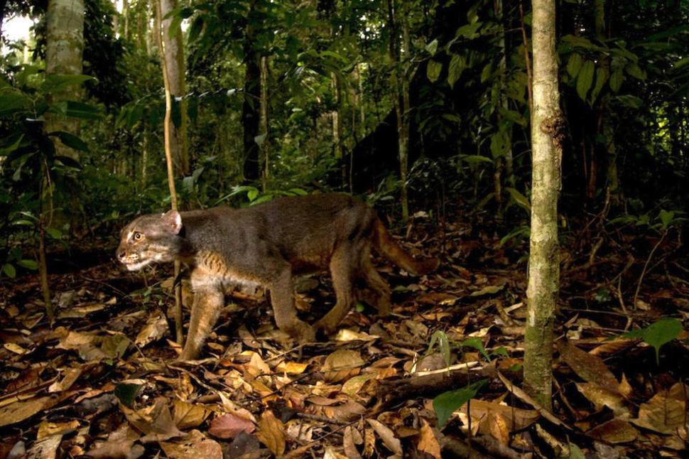 Дикие кошки острова Борнео
