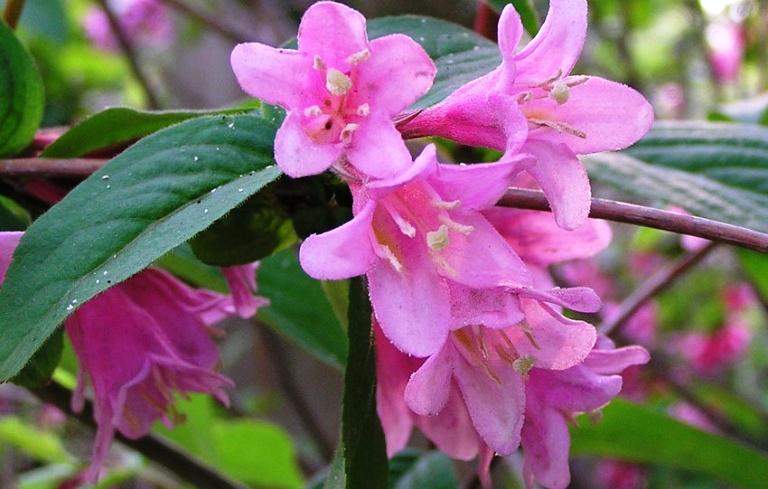 Все форумы Вейгела ранняя (Weigela praecox, Caprifoliaceae)