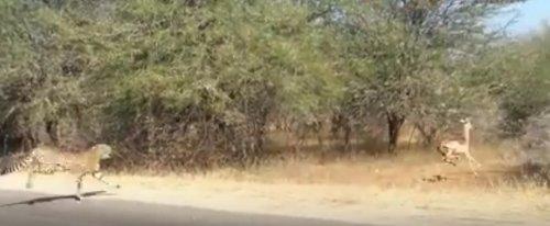 Спасаясь от гепарда, импала запрыгнула в джип