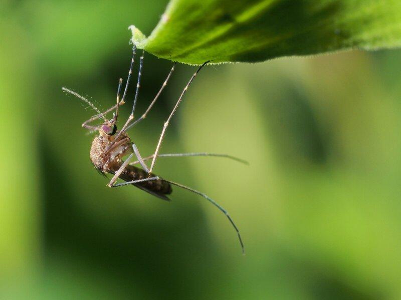Пять этапов жизни комара