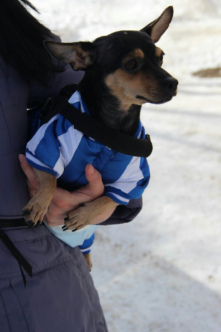 Хозяева обошлись с маленьким псом с невероятной жестокостью инвалид, пес, собака, чихуахуа