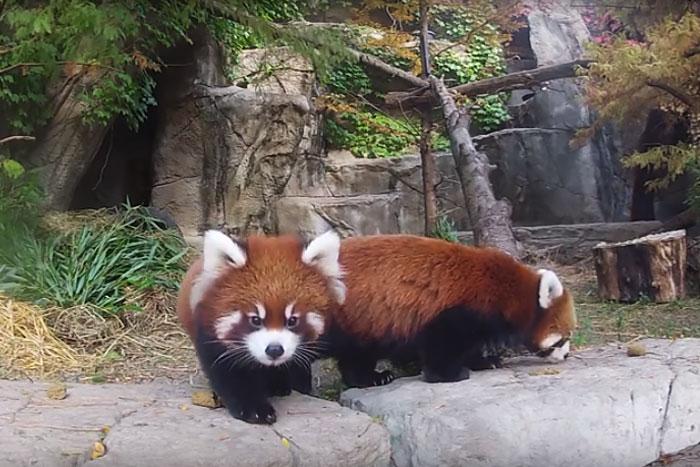 Эти малыши красной панды взволнуют ваше сердце