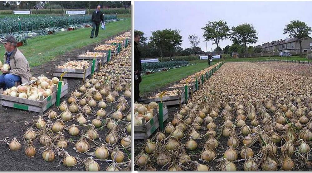 Выращиваем лук китайским способом на гребнях