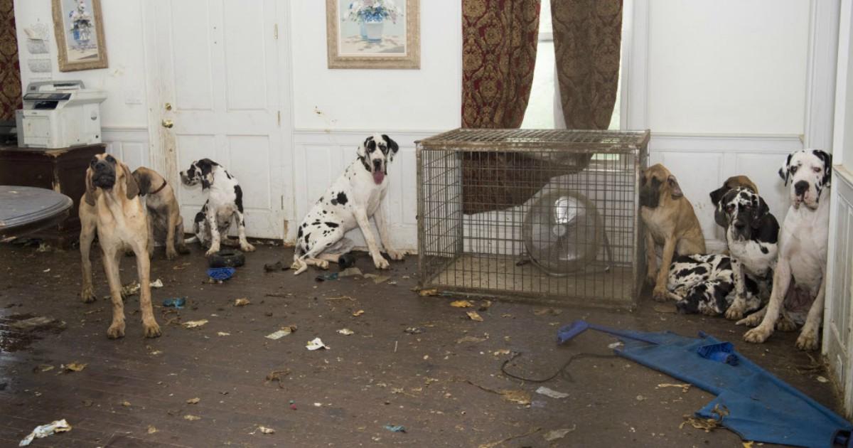 Большой красивый дом, а внутри… 84 собаки без еды и воды! Аплодисменты спасателям!