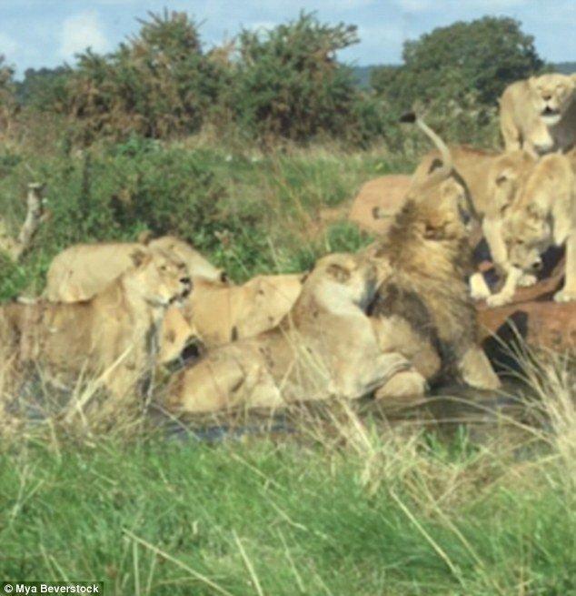 Ролик сняла посетительница сафари-парка Уэст-Мидлендс, Миа Беверсток. видео, дикая природа, жестокость, животные, львицы, львы, нападение, шокирующее видео