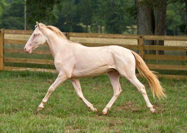 Изабелловая масть животные, лошадь