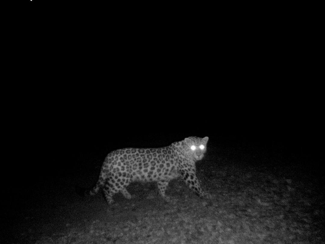 """Хищник стал настоящей загадкой для сотрудников нацпарка. Фото: """"Земля леопарда"""""""