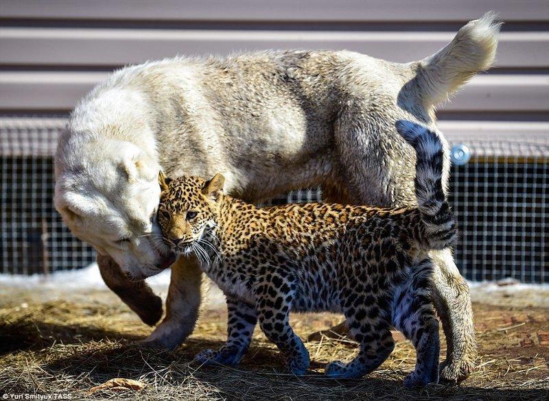 В зоопарке Владивостока детеныш леопарда подружился с овчаркой