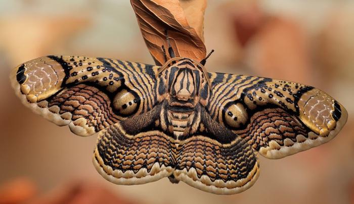 Бабочки активны ночью, а днём они, распластав крылья, отдыхают на стволах деревьев или в траве.
