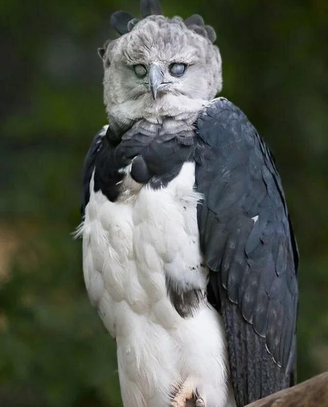 18. А это южноамериканская гарпия, и она смотрит даже не в душу. А куда-то дальше в мире, животные, красота, природа, удивительно, фото